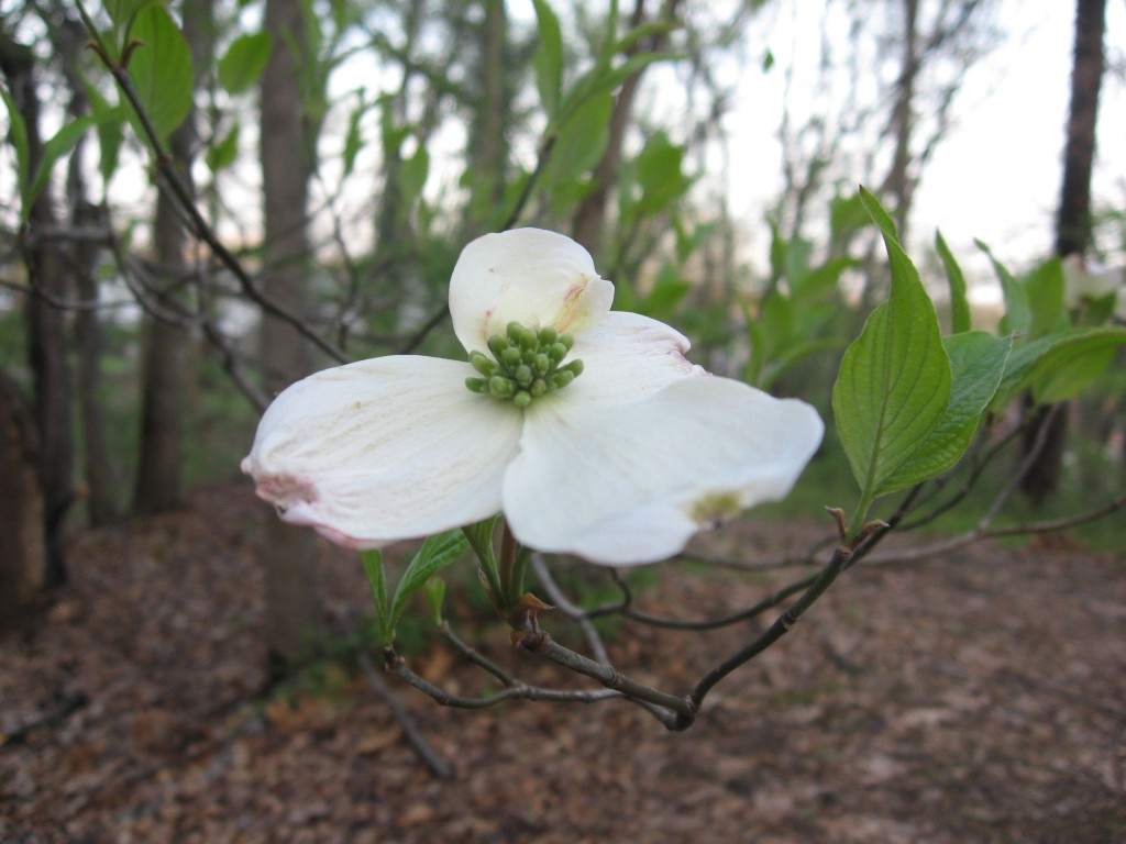 Blooming Dogwood, Morris Park, Philadelphia, Pennsylvania
