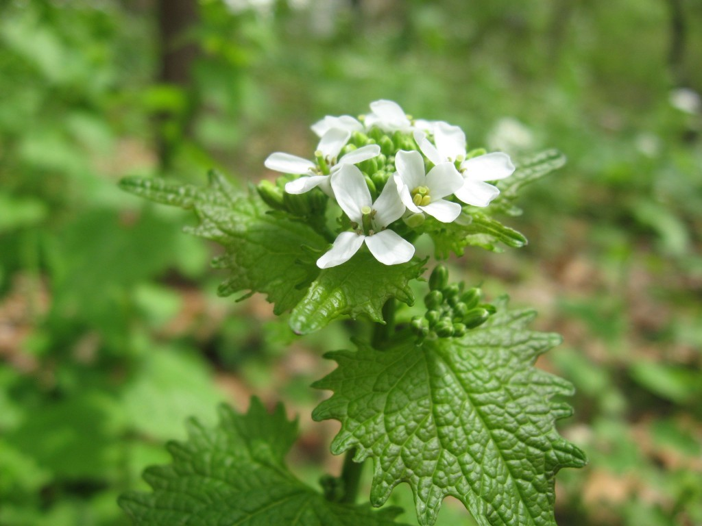 Garlic mustard in Flower, Morris Park Philadelphia