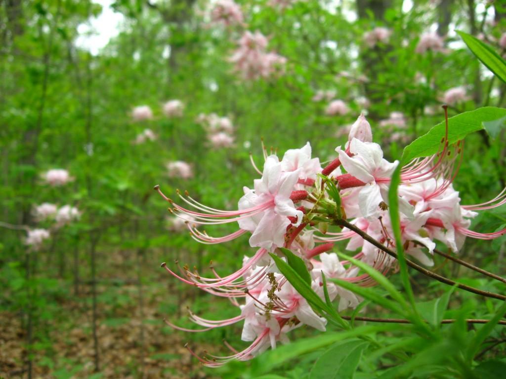 Pinxter-Bloom Azalea blooms in Morris Park, Philadelphia