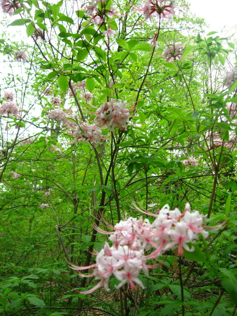Pinxter-Bloom Azalea blooms in Morris Park, Philadelphia