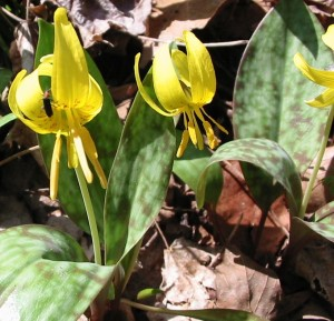 Trout Lily in Shenks Ferry Wildflower preserve