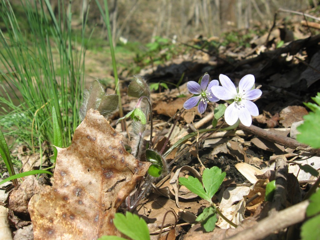 Round-lobed Hepatica, Shenks Ferry Wildflower Preserve: A rich ravine habitat on the lower Susquehanna River Valley, Pennsylvania