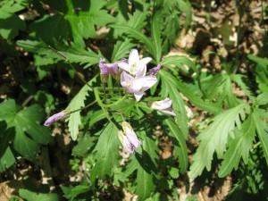 Cut-leaved Toothwort, Lancaster County, Pennsylvania