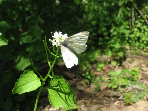 European cabbage white butterfly visits Garlic Mustard, Morris Park, Philadelphia