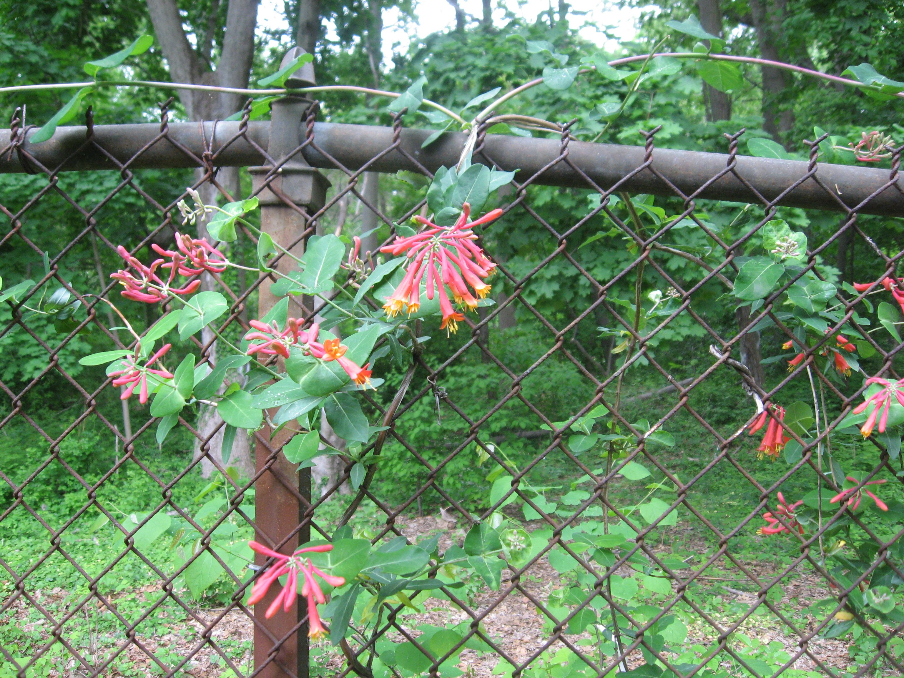 Landscaping With Honeysuckle : Lonicera sempervirens blooms in morris park ? the sanguine root