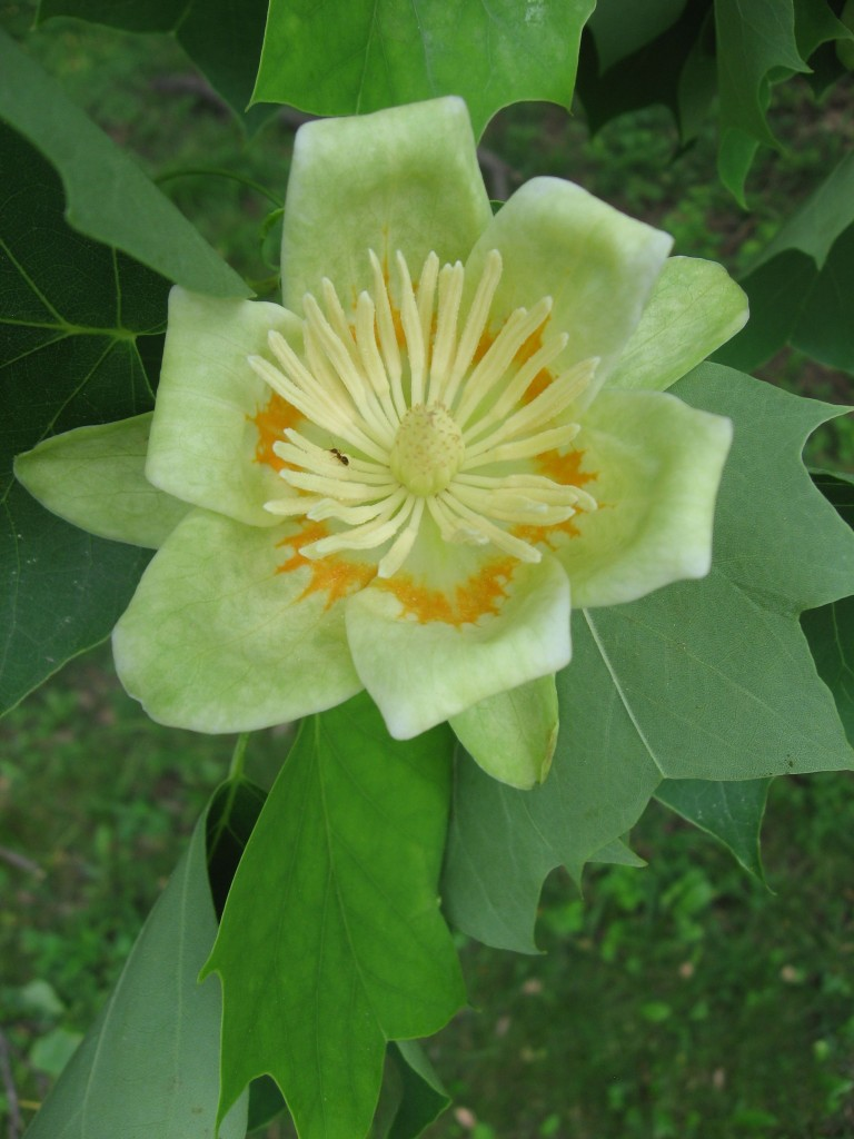 Tulip poplar blooms in West Fairmount Park, Philadelphia, Pennsylvania