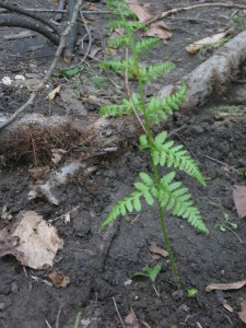 Rescuing a fern from improper land use - Morris Park - Philadelphia, PA