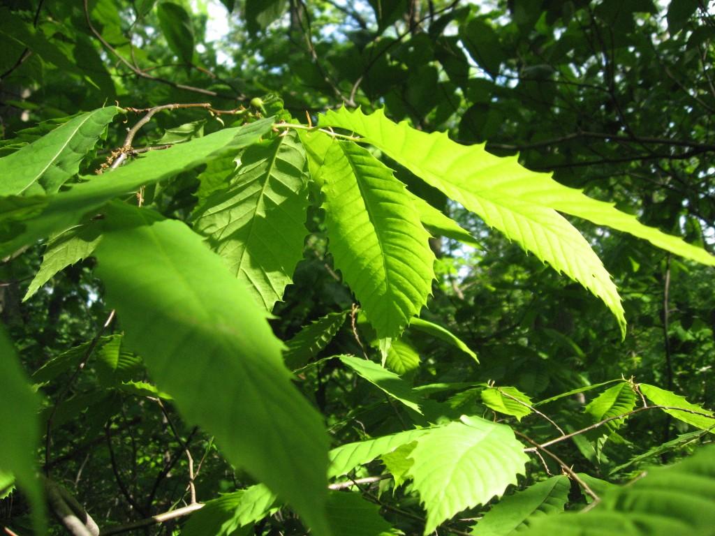 Leaves of the American Chestnut, Morris Park, Philadelphia