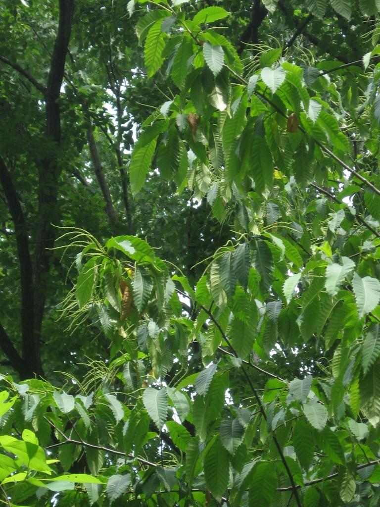 American Chestnut blooms in Morris Park, Philadelphia