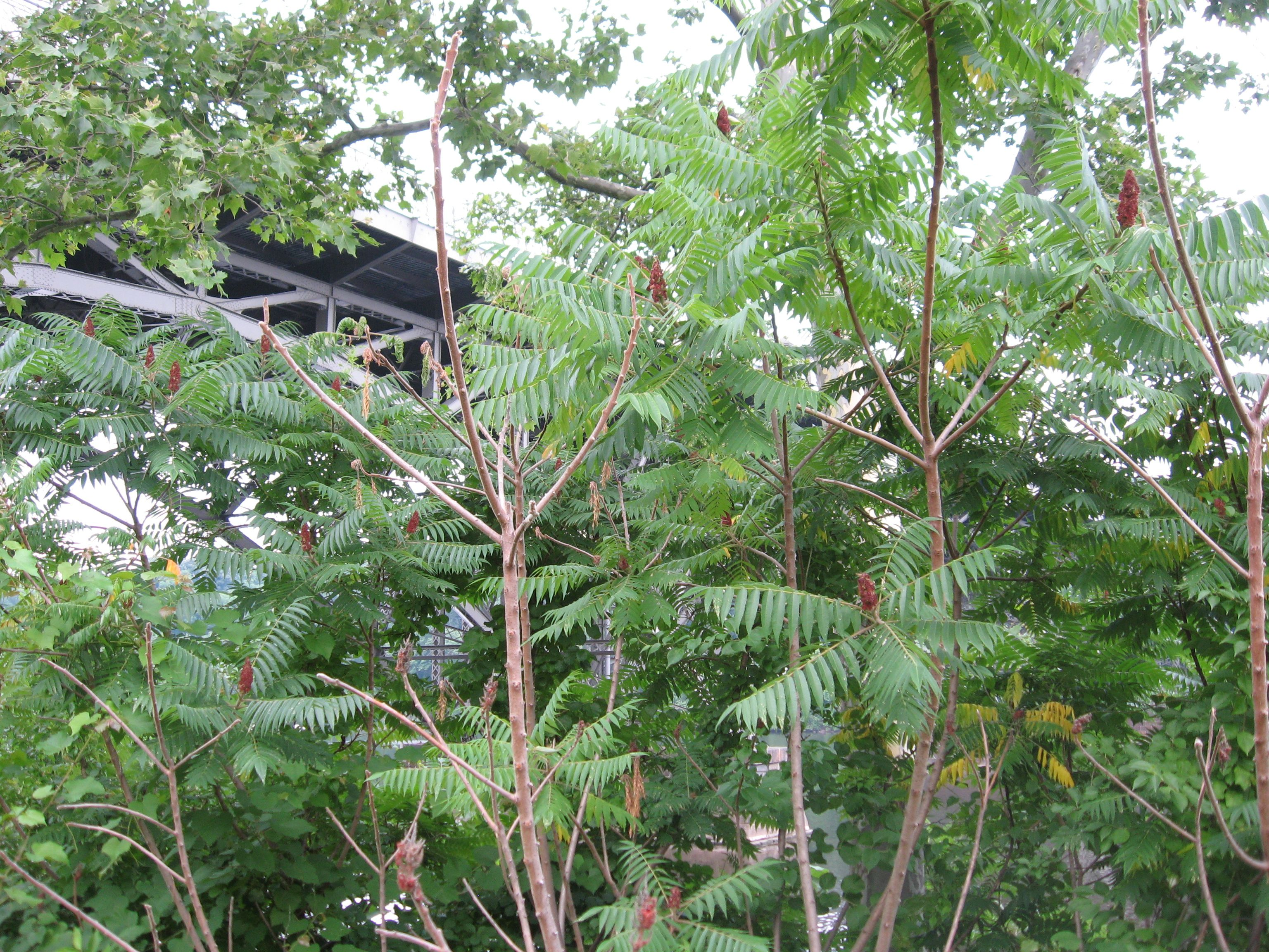 What is poison sumac look like