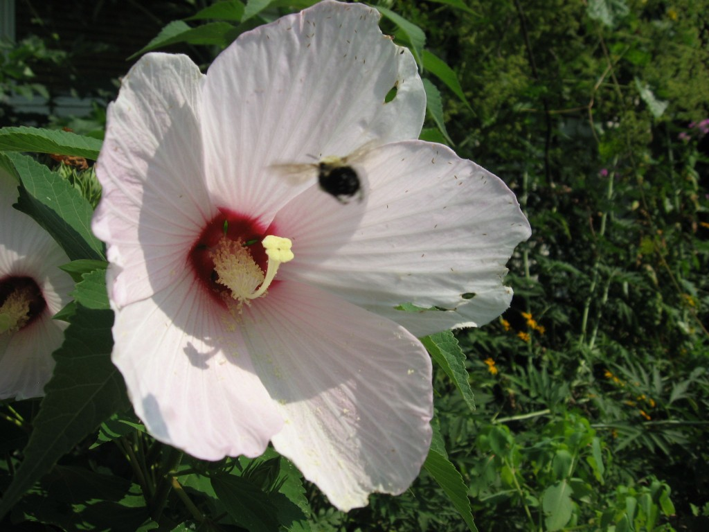 Hibiscus moscheutos, The garden of the Sanguine Root.  The Overbrook neighborhood of Philadelphia Pennsylvania