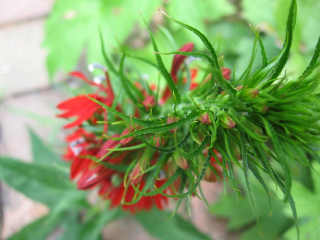 Lobelia cardinalis The garden of the Sanguine Root.  The Overbrook neighborhood of Philadelphia Pennsylvania