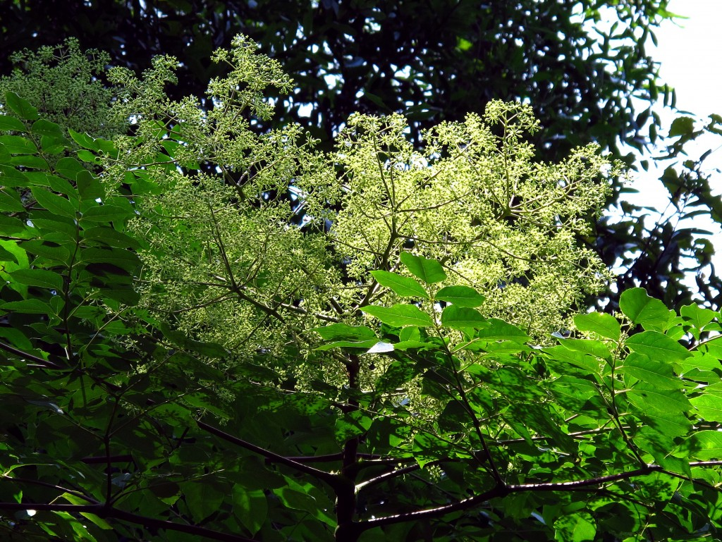 Hercules club, the native Aralia spinosa blooms in Tallahasee Florida, July 11, 2011