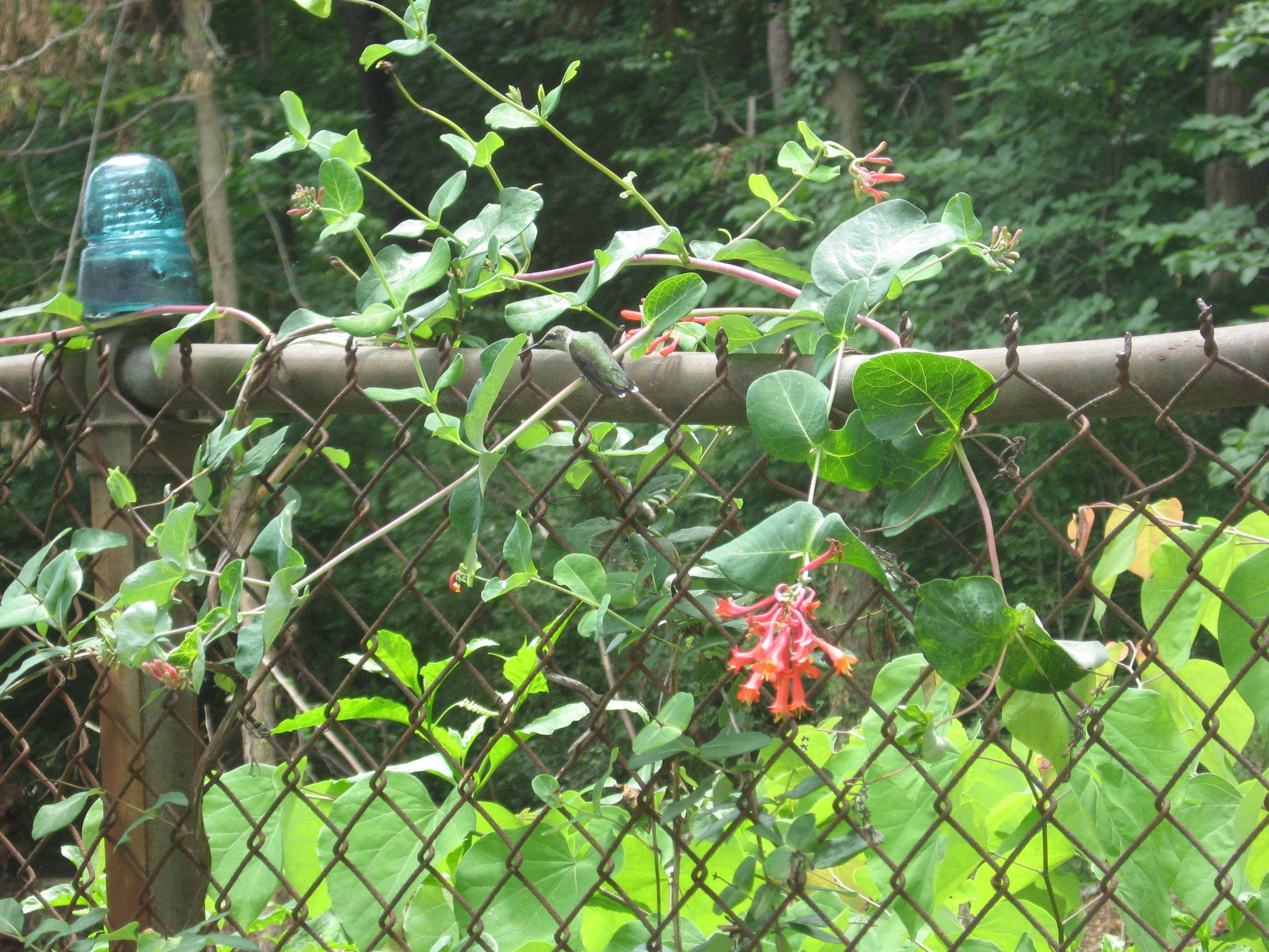 THE HUMMINGBIRD GARDEN OF THE SANGUINE ROOT The Sanguine Root