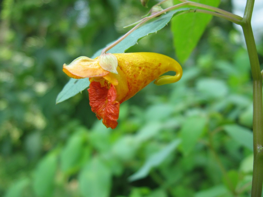 Jewelweed blooms in the Garden of The Sanguine Root, Philadelphia