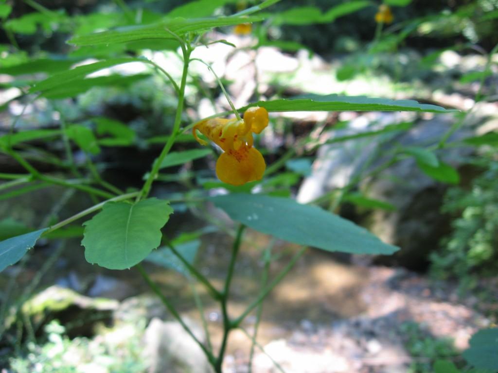 Jewelweed blooms in Morris Park, Philadelphia