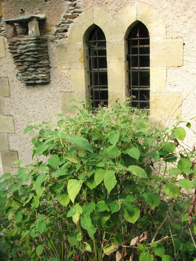 Japanese Knotweed, Belcastel, France