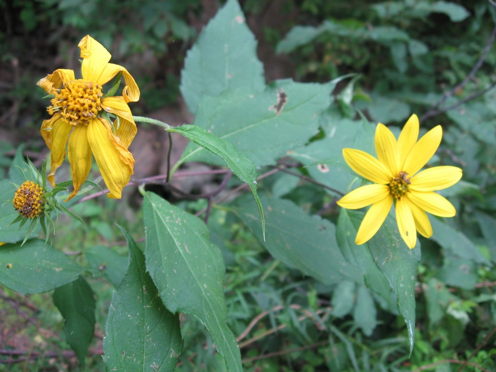 Sunflower, Susquehanna State Park, Maryland