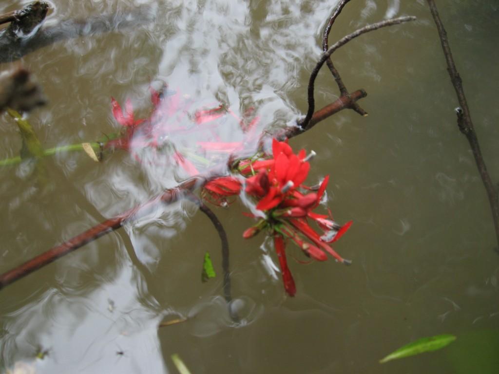 Lobelia cardinalis, cardinal flower, Red lobelia, Susquehanna State Park, Maryland
