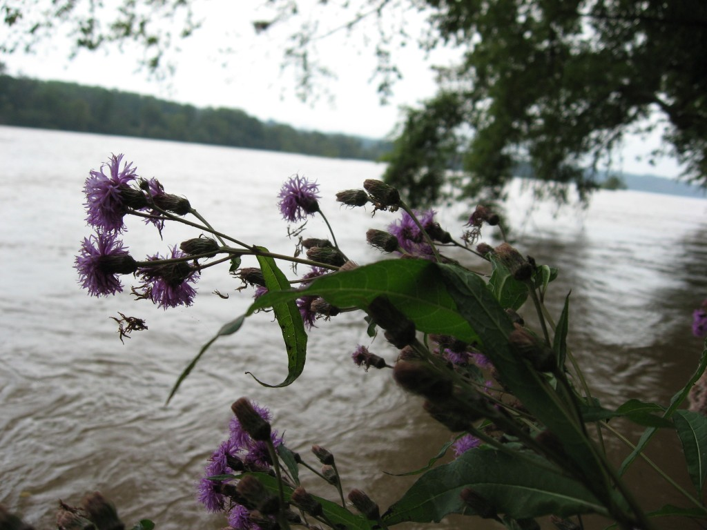 Vernonia noveboracensis, New York ironweed, Susquehanna State Park, Maryland