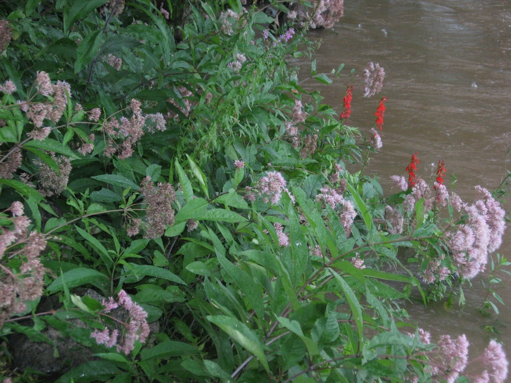 Joe-pye weed and Red lobelia, Susquehanna State Park, Maryland