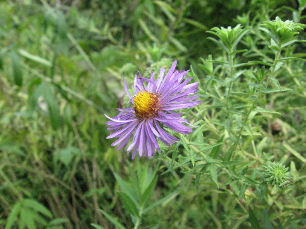 New England Aster, The Garden of The Sanguine Root, Overbrook, Philadelphia, Pennsylvania
