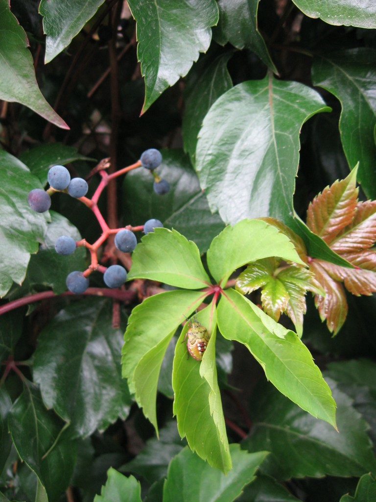 Virginia Creeper in the Paris suburb of Aulnay-Sus-Bois, France