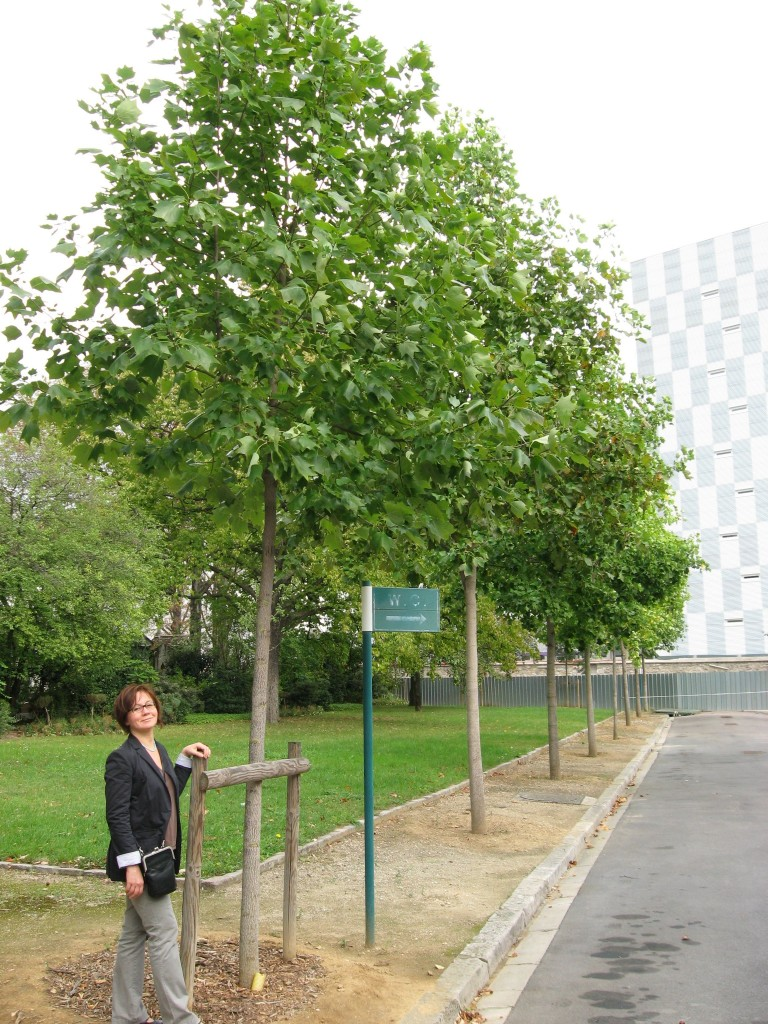 Tulip Poplar in Paris, France