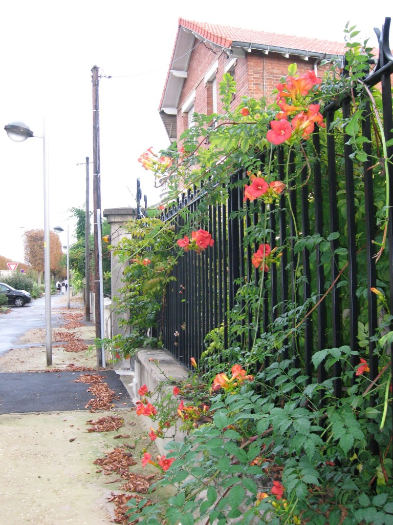 Trumpet creeper vine in the Paris suburb Le Raincy