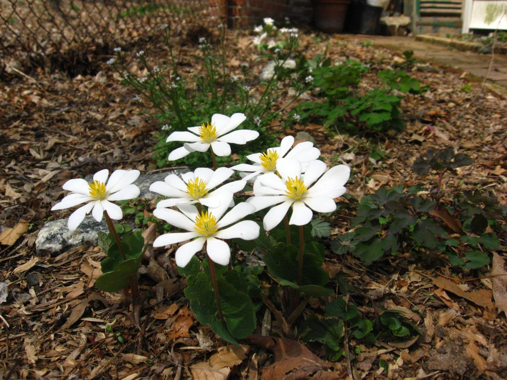 Bloodroot,  Garden of the Sanguine Root, Morris Park Road, Philadelphia, Pennsylvania