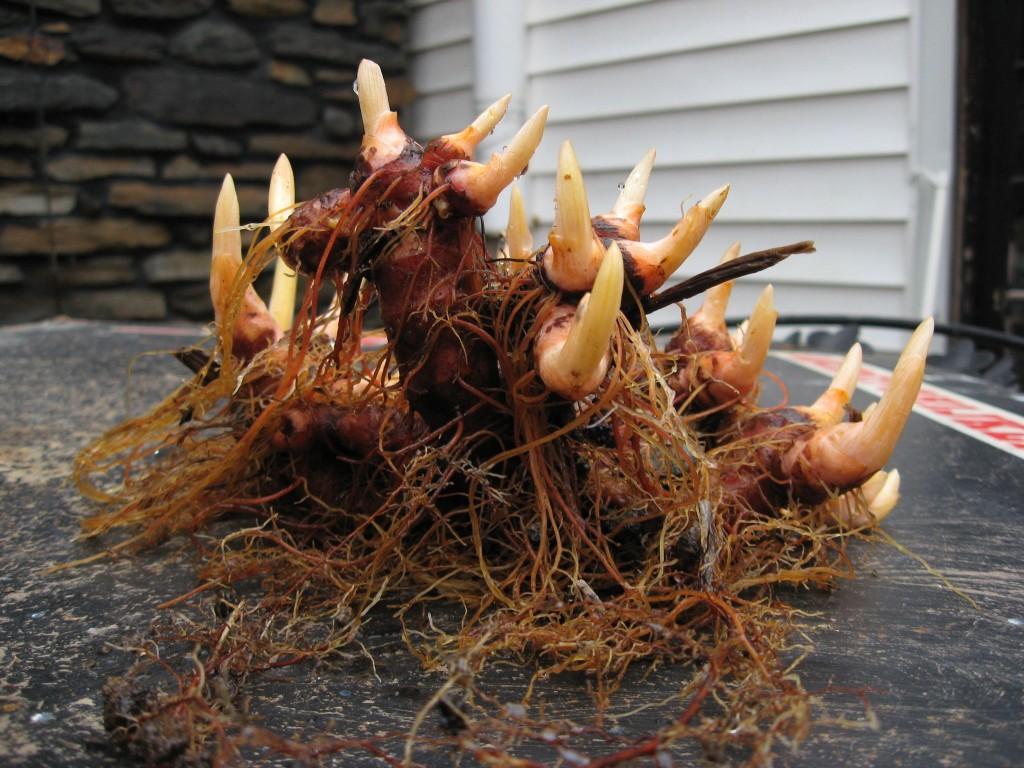 Bloodroot,  Garden of the Sanguine Root, Morris Park Road, Philadelphia, Pennsylvania