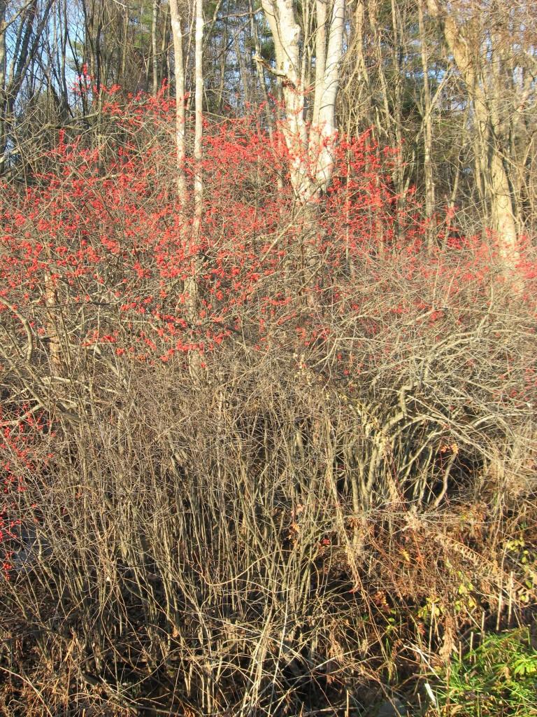 Ilex verticillata, Amherst, Massachusetts