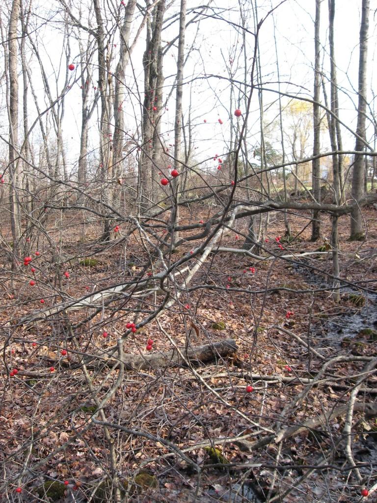 Ilex verticillata, Moulton Hill Road, Monson, Massachusetts