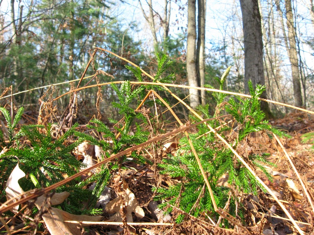 Forest floor, Moulton Hill Road, Monson, Massachusetts