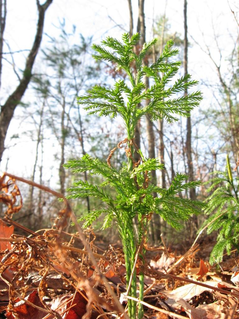 Forest floor, Moulton Hill Road, Monson, Massachusetts