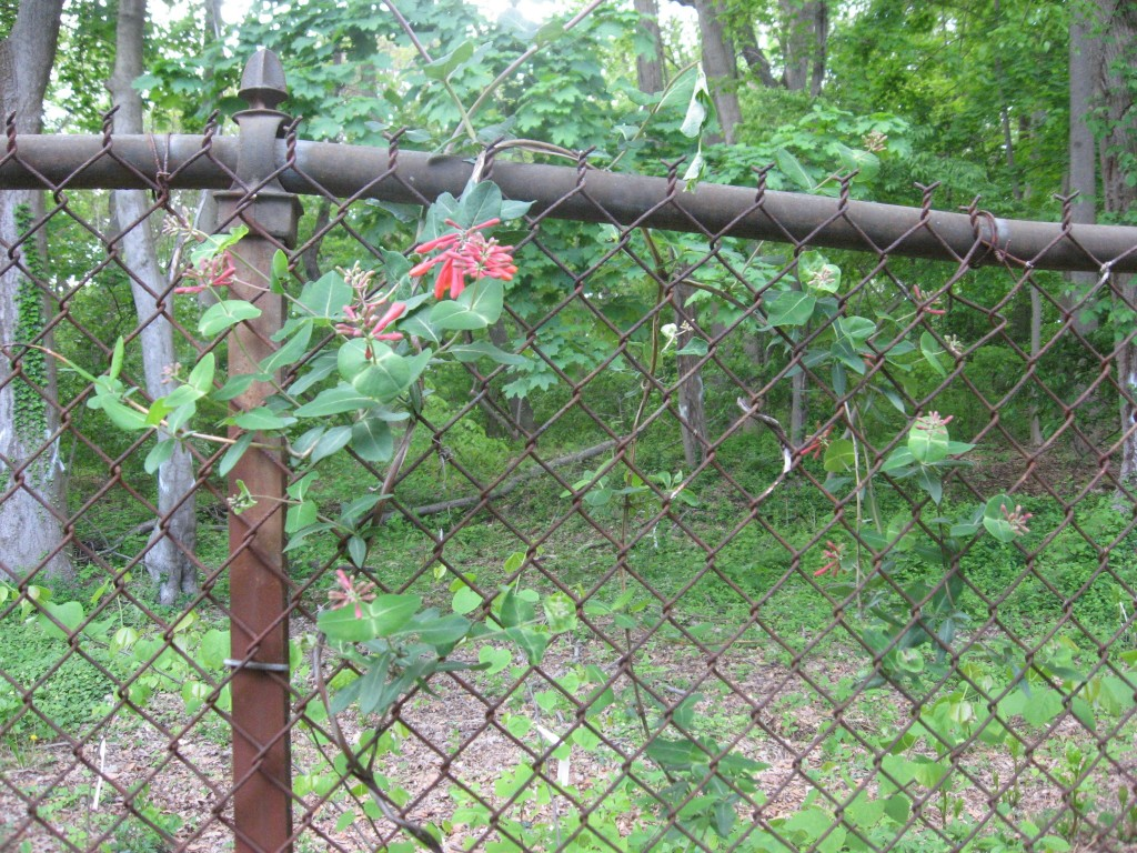 Coral honeysuckle,  Garden of the Sanguine Root, Morris Park Road, Philadelphia, Pennsylvania