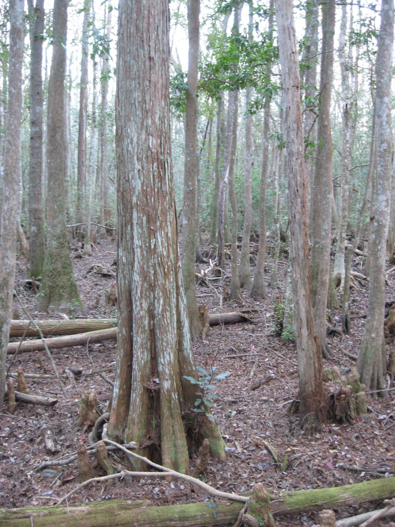 Osceola National Forest, Florida