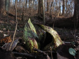 Skunk cabbage in Morris Park, Philadelphia