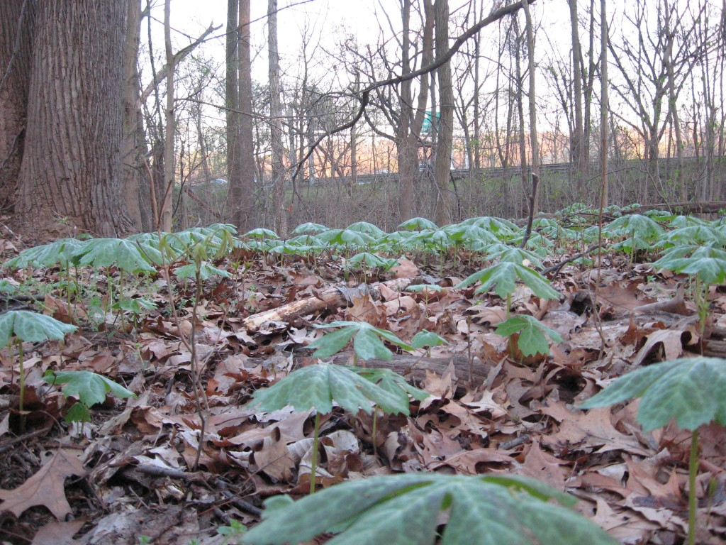 Mayapples in West Fairmount Park, Philadelphia, Pennsylvania