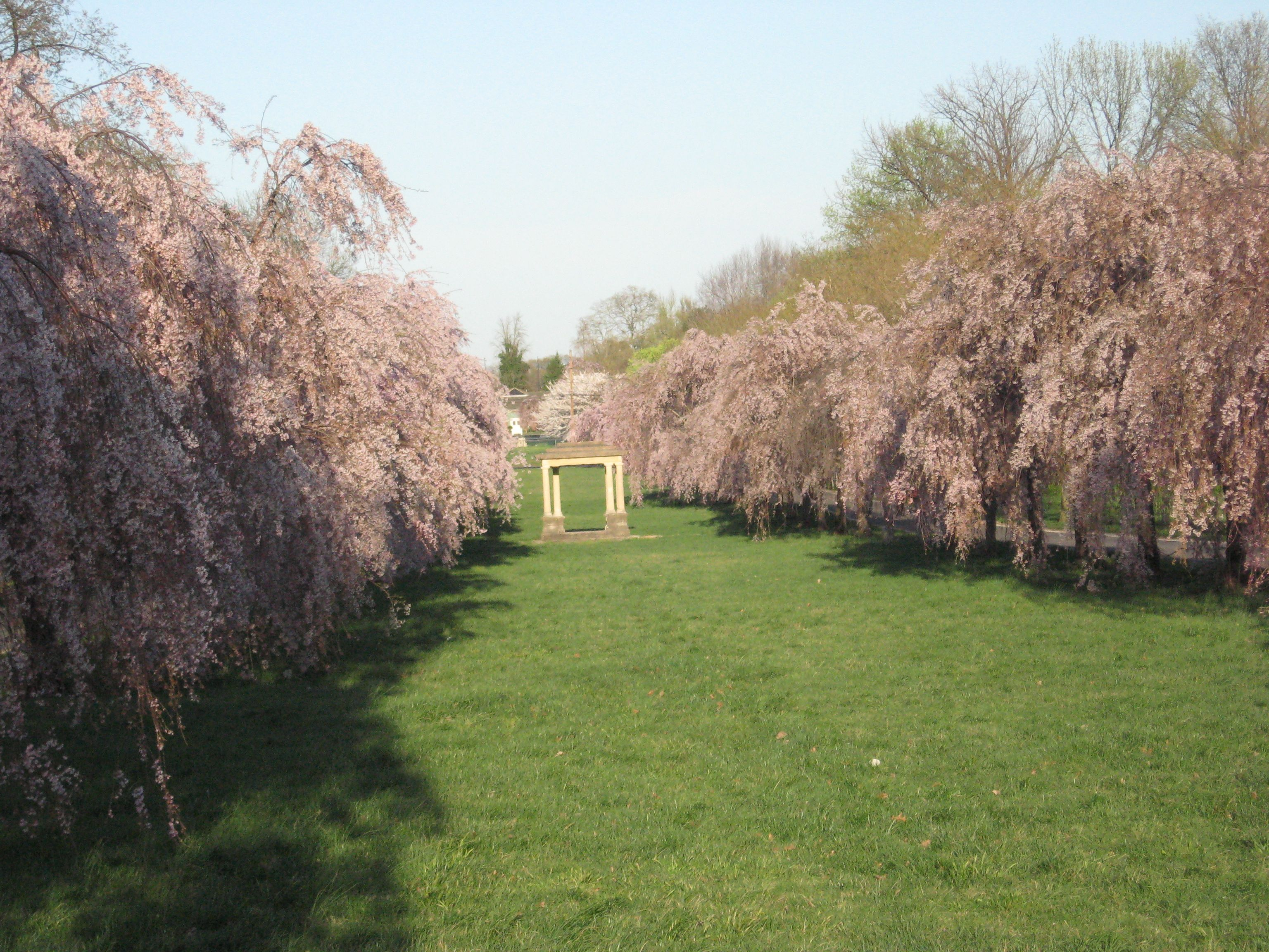 Cherry Blossoms And Bluets West Fairmount Park Is The