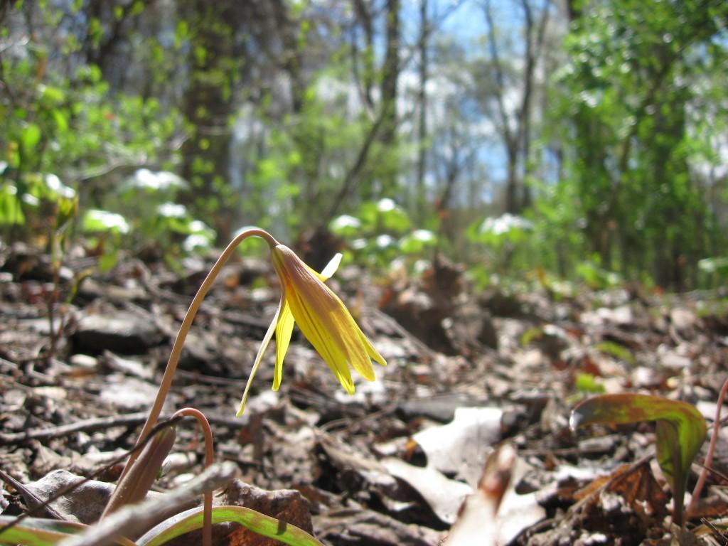 Trout lily, Morris Park, Philadelphia