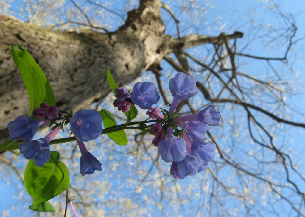 Mertensia virginica and Acer saccharum