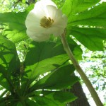 Mayapple flowering, West Fairmount Park, Philadelphia