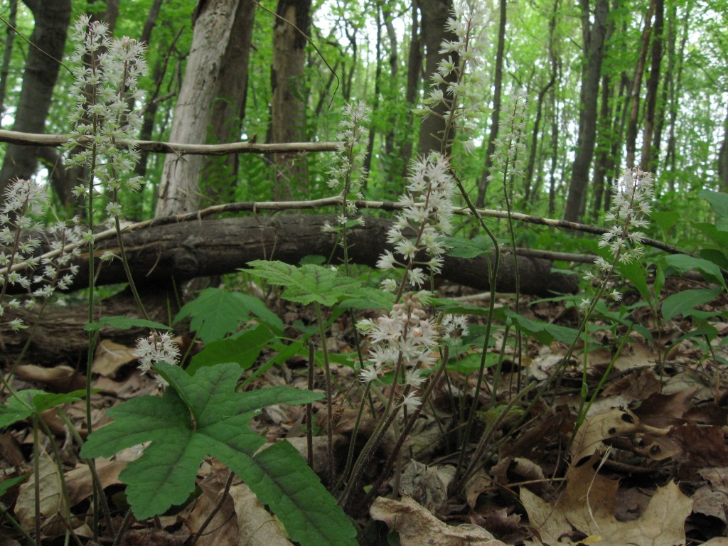 Tiarella cordifolia, Wissahickon Valley Park, Philadelphia, Pennsylvania