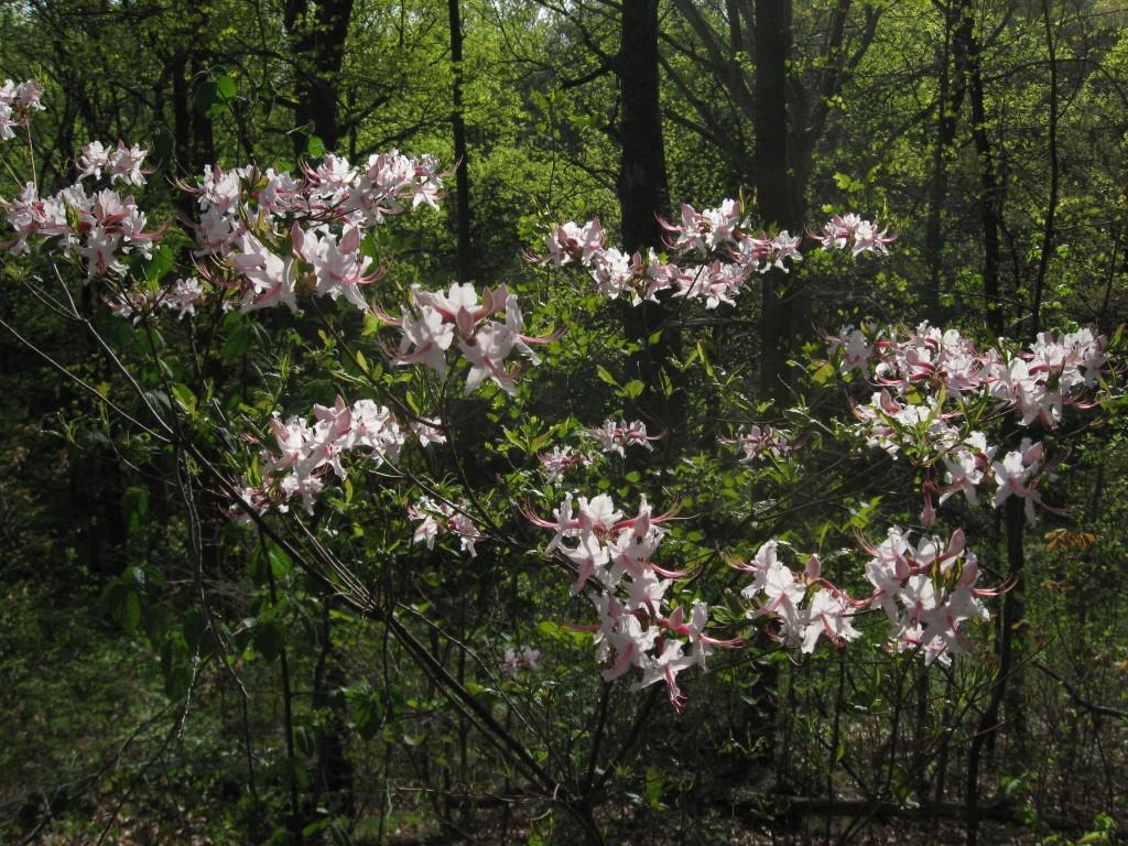 Pinxterbloom azalea, Morris Park, Philadelphia, Pennsylvania.