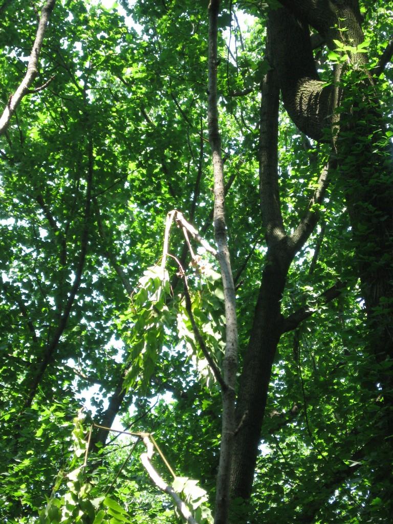 Japanese Angelica Tree, Aralia elata, Morris Park ,  Philadelphia, Pennsylvania
