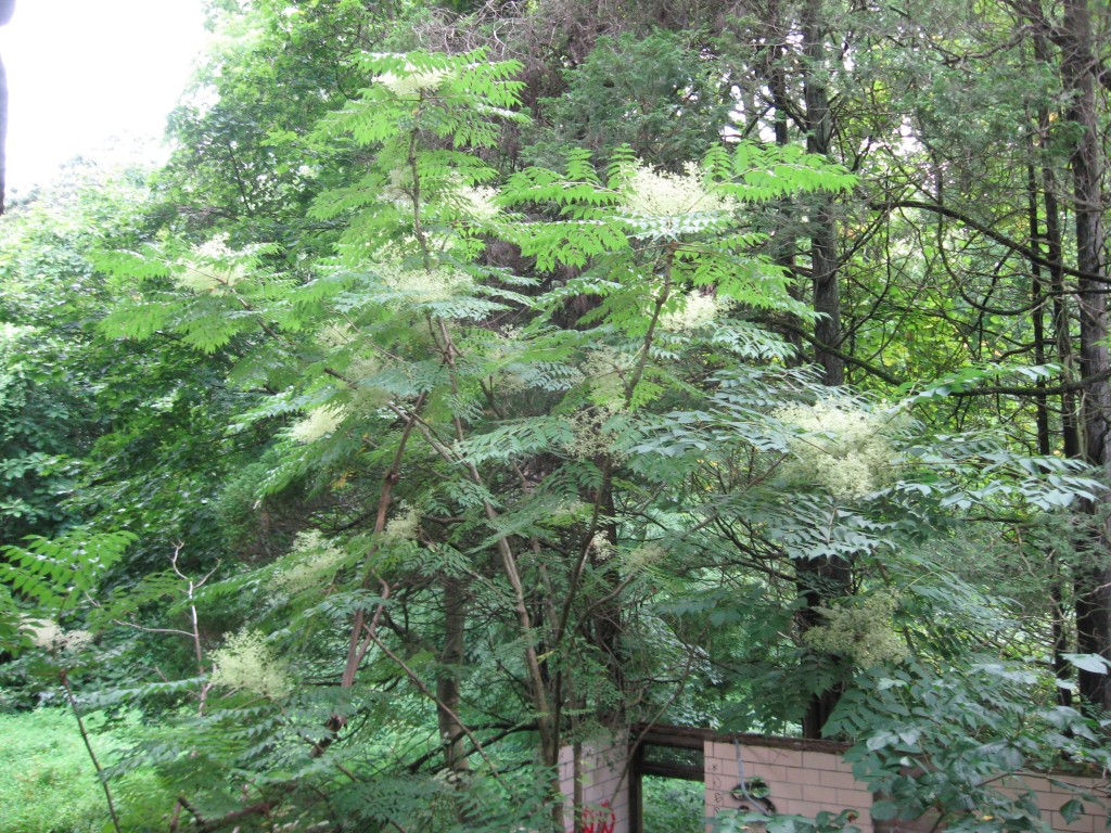 Japanese Angelica Tree, Aralia elata, Wissahickon Valley Park ,  Philadelphia, Pennsylvania