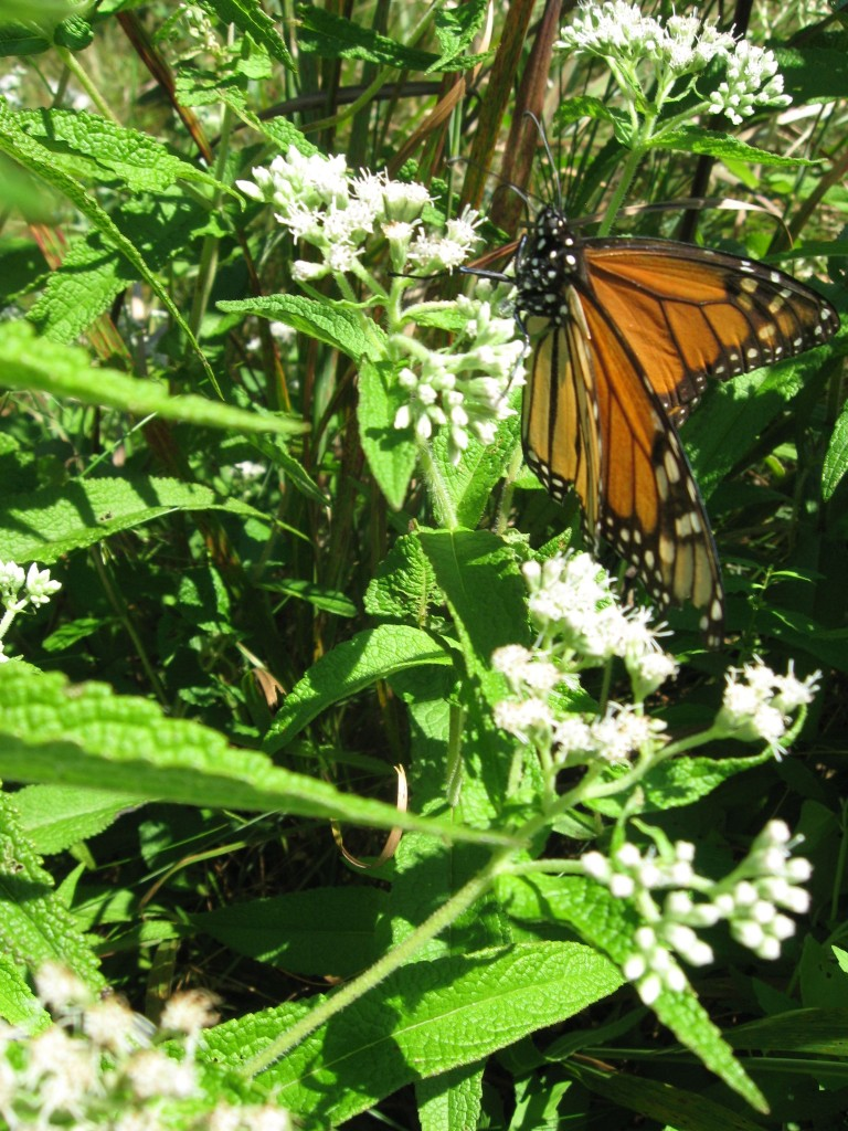 Monarch butterfly, Cape May Point State Park, New Jersey