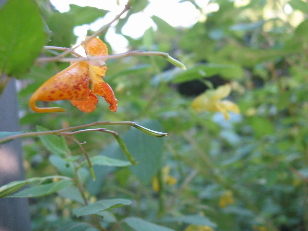 Jewelweed, The Sanguine Root Native Plant Garden, Morris Park Road, Overbrook, Philadelphia, Pennsylvania