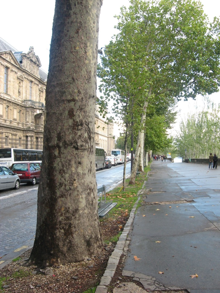 London Plane, near the Louvre, Paris, France